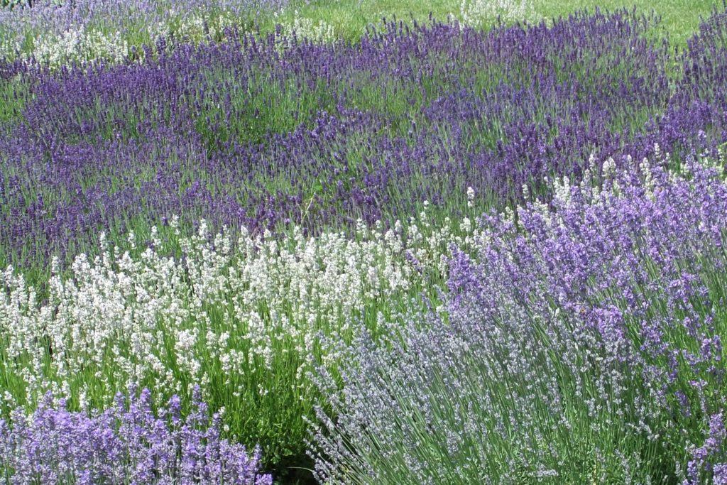 lavender fibres art