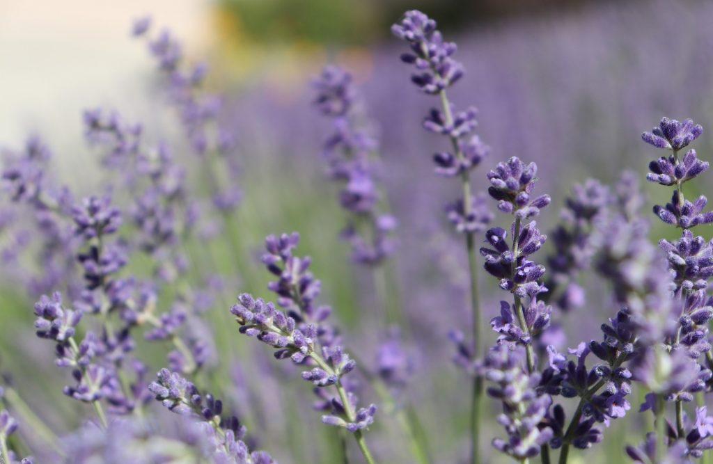 lavender-bg